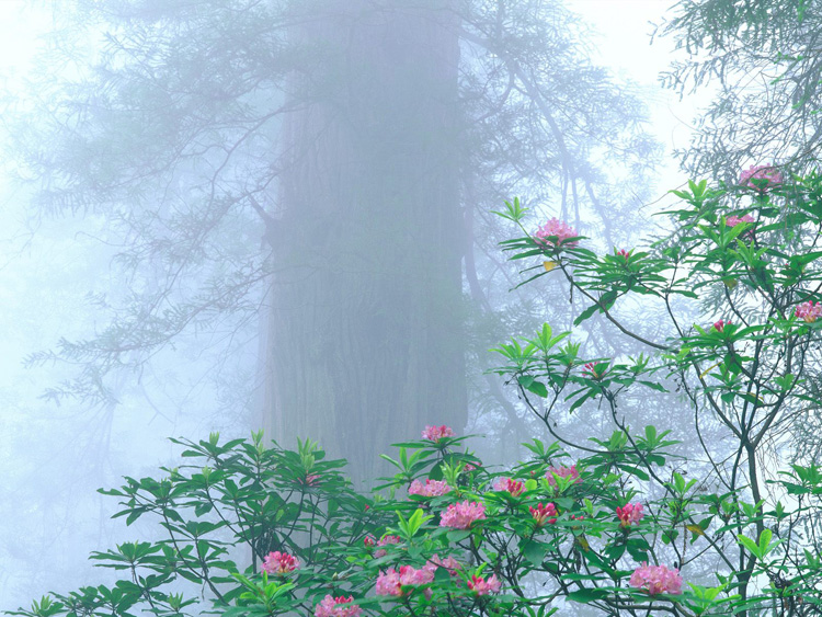 Rhododendron, Redwood National Park, California